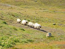 Free Herd Of Sheep Stock Photos - 20727793