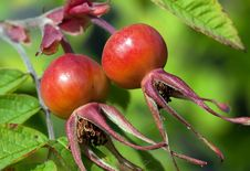 Free Rose Hips (Rosa) Stock Images - 20727804