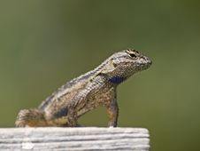 Free Little Lizard Close Up Stock Photography - 20728622