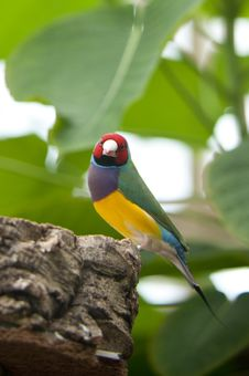 Australin Gouldian Finch Royalty Free Stock Photo