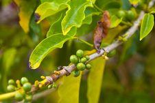 Organic Coffee Beans Ripening On Plant Stock Image