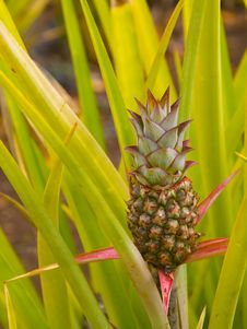 Free Pineapple Growing Royalty Free Stock Photography - 20729667