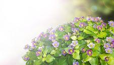 Free Exacum Flower Background Stock Photo - 20729700