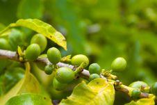 Organic Coffee Beans Ripening On Plant Stock Photos