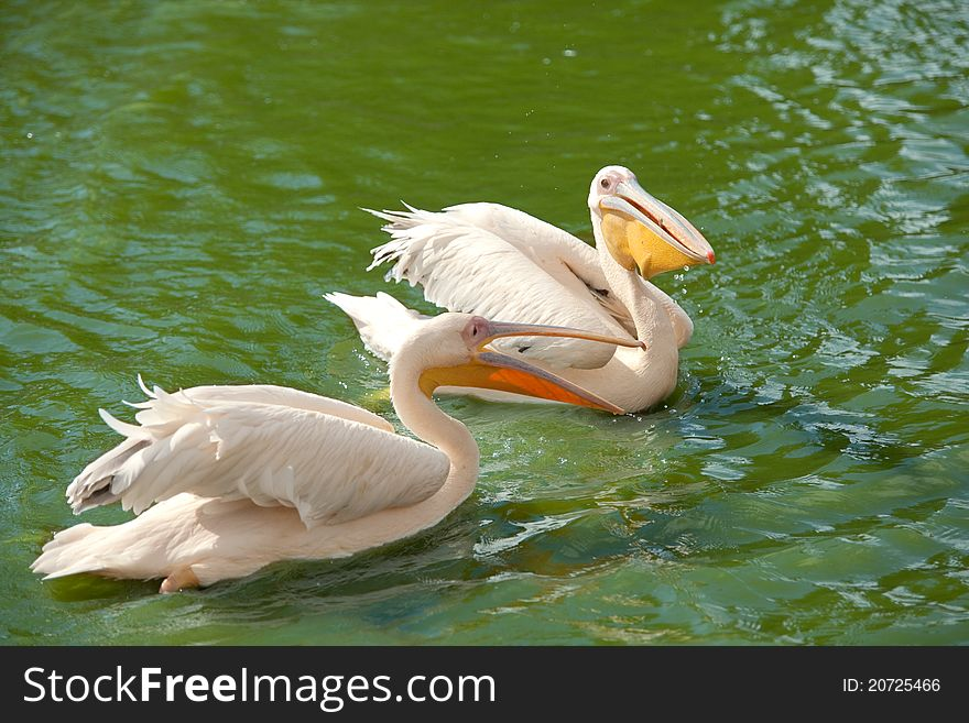 Pink pelicans wading in a pond