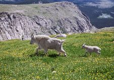 Free Mountain Goat Mother And Her Kid Stock Photo - 20730100