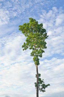 Free Rain Tree Royalty Free Stock Photo - 20731005