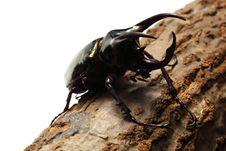 Free Atlas Beetle Stock Image - 20731561