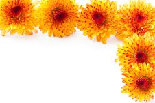 Free Orange Chrysanthemum Stock Image - 20731781