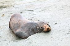 Free Sleepy Seal Royalty Free Stock Image - 20732656