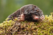 Free Mole General Royalty Free Stock Image - 20733096