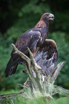 Free Golden Eagle Stock Photo - 20733120