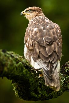 Free Imperial Buzzard Royalty Free Stock Image - 20733146