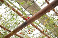 Free Cherry Tomato Stock Image - 20733431