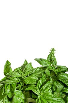 Basil Border Isolated On White Stock Photo