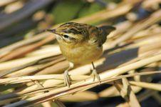 Free Sedge Warbler (Acrocephalus Schoenobaenus) Stock Photos - 20736723