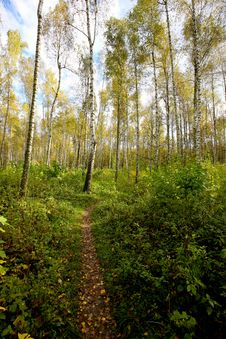 Free Birch Stock Photo - 20737740