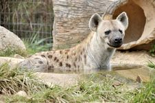 Free Spotted Hyena Royalty Free Stock Photos - 20738108