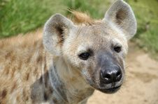 Free Spotted Hyena Stock Photo - 20738230