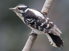 Free Female Downy Woodpecker Stock Photo - 20738260