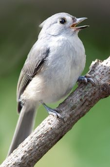 Free Titmouse Singing Stock Image - 20738421