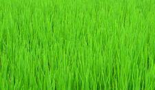 Free Green Rice Field Royalty Free Stock Photo - 20739195