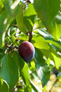 Free Plum In A Tree Stock Photo - 20741780