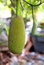 Free Jackfruit On A Tree Royalty Free Stock Photo - 20746335