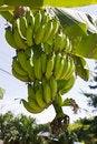 Free Green Young Bananas Stock Image - 20749961