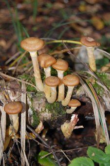 Free Mushrooms Honey Agarics Royalty Free Stock Photos - 20741438