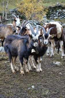 Free Goats Royalty Free Stock Photo - 20741555