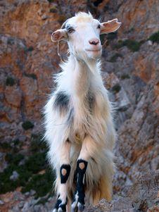 Free Cretan Goat Stock Images - 20741574