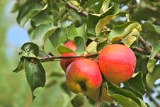 Free Tree With Red And Yellow Apples Stock Photo - 20742010