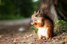 Free Red Squirrel Eating In A Park Royalty Free Stock Photo - 20742665