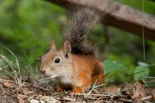 Curious European Red Squirrel Searching For Acquai Royalty Free Stock Photography