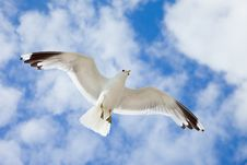 Free Sea Gull In The Blue Sky Royalty Free Stock Photography - 20742767