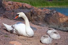 Free Swan With Three Baby Birds Having A Rest Stock Image - 20742831