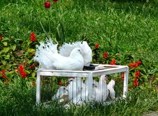 White Pigeons Are In A Green Grass Royalty Free Stock Photos