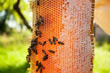 Free Worker Bees Royalty Free Stock Image - 20744676