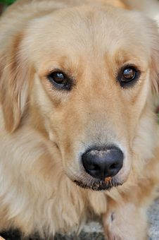 Free Portrait Of A Golden Retriever Stock Image - 20745231