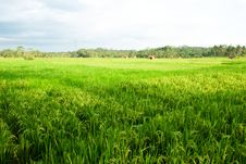 Greenish Paddy Field Royalty Free Stock Photography