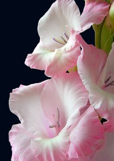 Free Pink Gladiolus Stock Images - 20747854