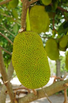 Free Jackfruit  On The Tree Stock Images - 20748904