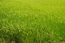 Free Rice Fields Royalty Free Stock Photography - 20749047