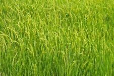 Free Rice Fields Royalty Free Stock Photo - 20749245