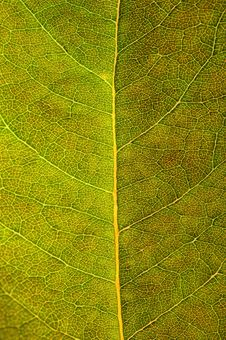 Structure Of Leaf Royalty Free Stock Photos