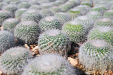 Free Cactus Royalty Free Stock Photography - 20749857