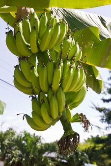 Free Green Young Bananas Stock Image - 20749961