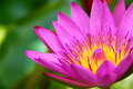 Free Blossom Lotus Flower In Pond Stock Image - 20751651