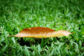 Free Dry Leaf On Lawn Grass Stock Photography - 20752022